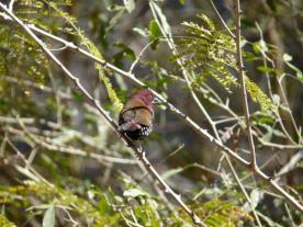 The Rare Pink-Throated Twinspot at Mkhaya Game Reserve