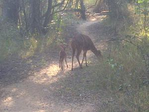 New born baby Nyala with mother