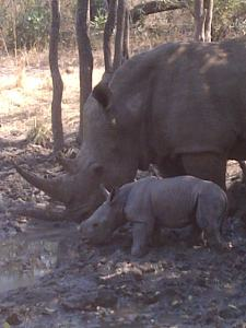 Rhino Calf Video at Mkhaya Game Reserve