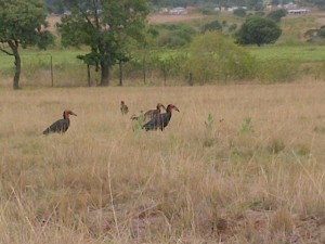 Ground Hornbills visit Reilly's Rock
