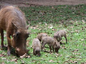 Female Warthog at Mlilwane