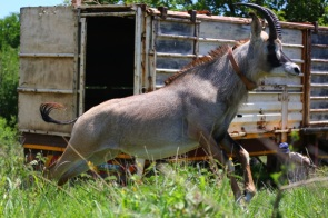 The radio collared roan antelope bull takes his first steps into the wild at Mkhaya Game Reserve