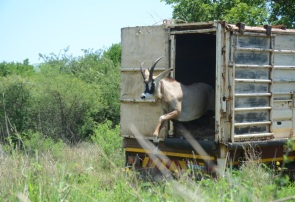 A radio collared Roan Antelope bull steps off the truck