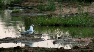Grey Headed Gull at Ndlovu Waterhole
