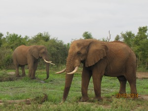 African Elephants at Hlane