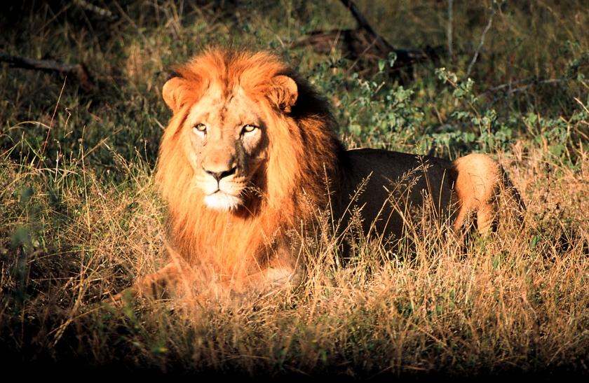 Hlane Mick's Lion.jpg