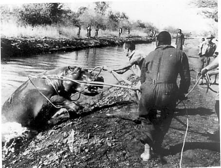 Hippo capture 1